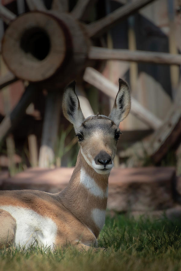 Wyoming Pronghorn Photograph by Laura Terriere