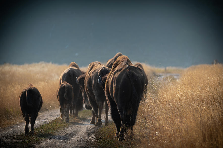Bison Photograph - Wyoming Traffic Jam by Mary Hone