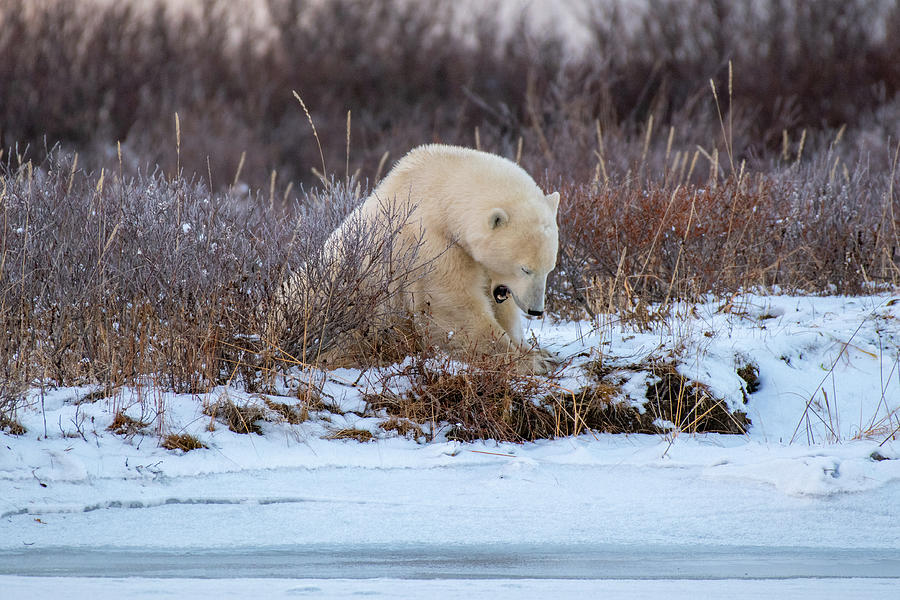 Yawning Bear by Mark Hunter