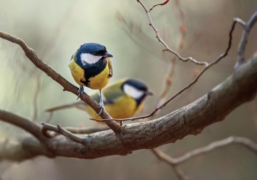 Yellow and black tits by Jaroslaw Blaminsky