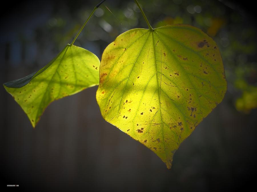 Yellow Autumn Back Light by Richard Thomas