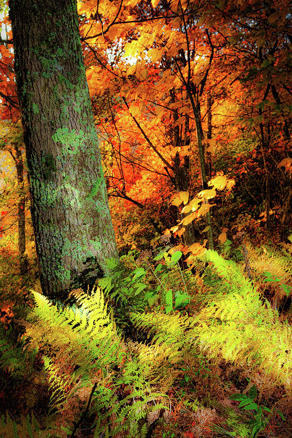 Yellow Autumn Ferns by Dan Carmichael