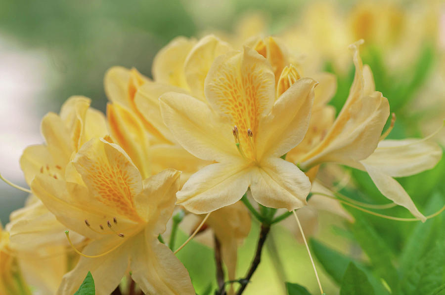 Yellow Azalea Luteum 5 by Jenny Rainbow