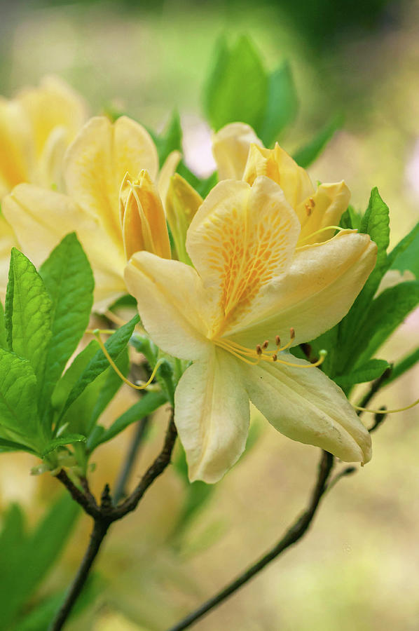 Yellow Azalea Luteum 6 by Jenny Rainbow