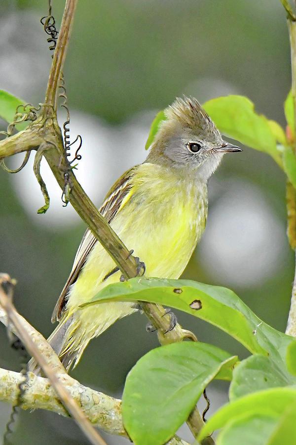 Yellow-bellied Flycatcher by Alan Lenk