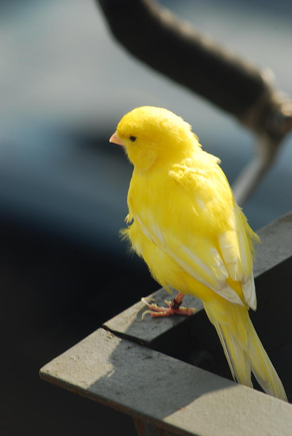 Yellow Bird 1 Photograph