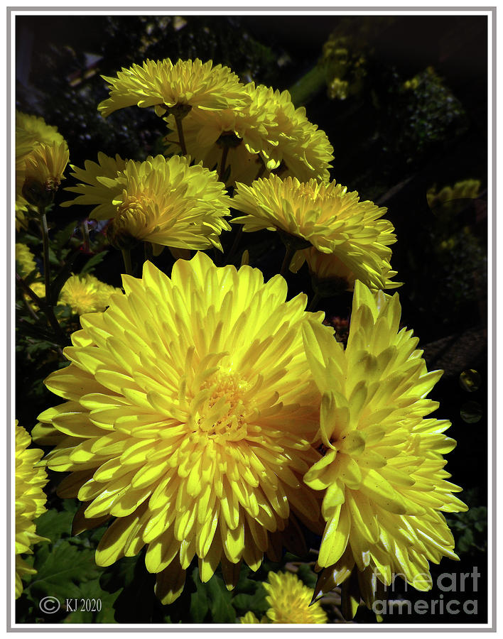 Yellow Chrysanthemum Photograph