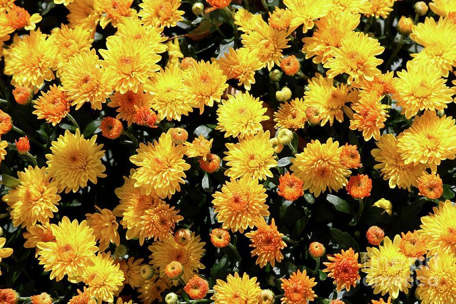 Yellow Chrysanthemums Photograph