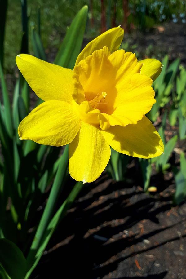Yellow Daffodil Photograph