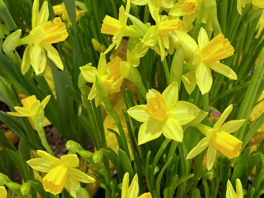 Yellow Daffodils Photograph by Karen Zuk Rosenblatt