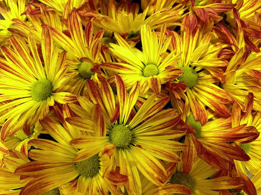 Yellow Daisies Photograph - Yellow Daisies by Karen Zuk Rosenblatt