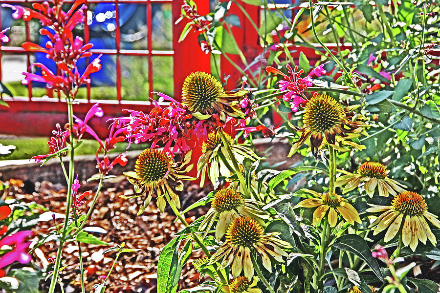 Yellow Echinacea Backlit In A Greenhouse With Open Red Window Other Flowers 2 11422015 1862 Photograph by David Frederick