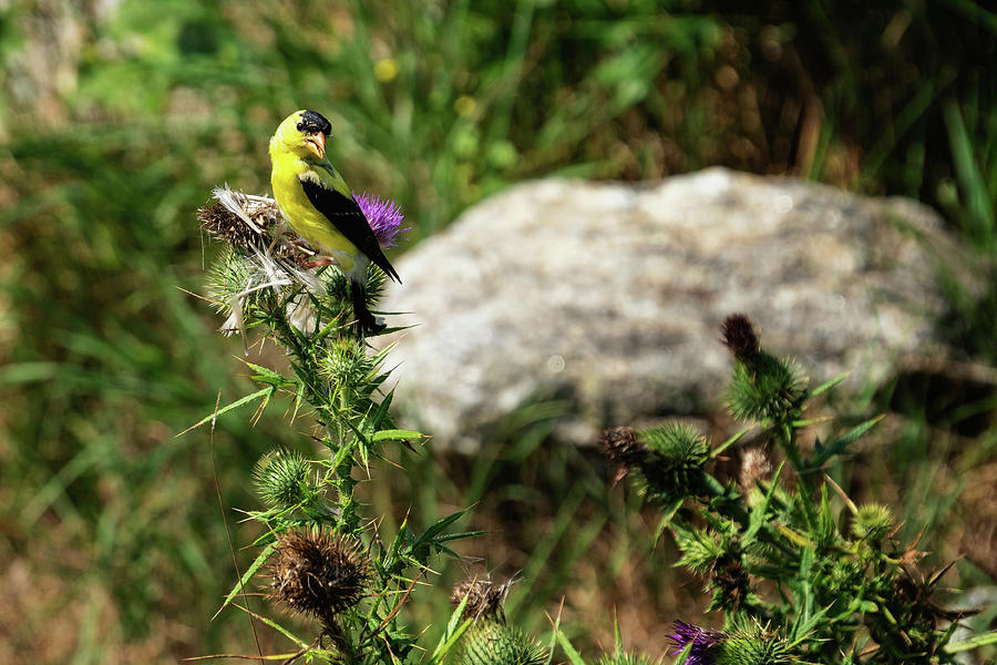 Yellow Finch, Star Island, New Hampshire by Dawna Moore Photography