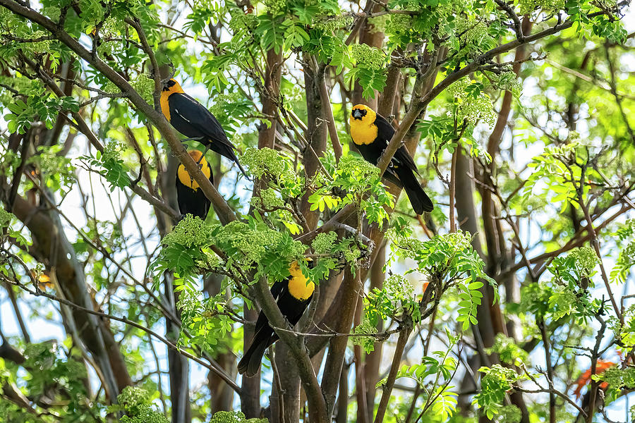 Yellow-headed Blackbirds Blooming On A Tree Photograph