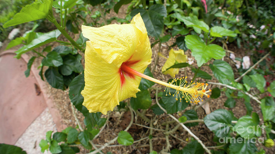 Yellow Hibiscus Photograph - Yellow Hibiscus by Felix Lai