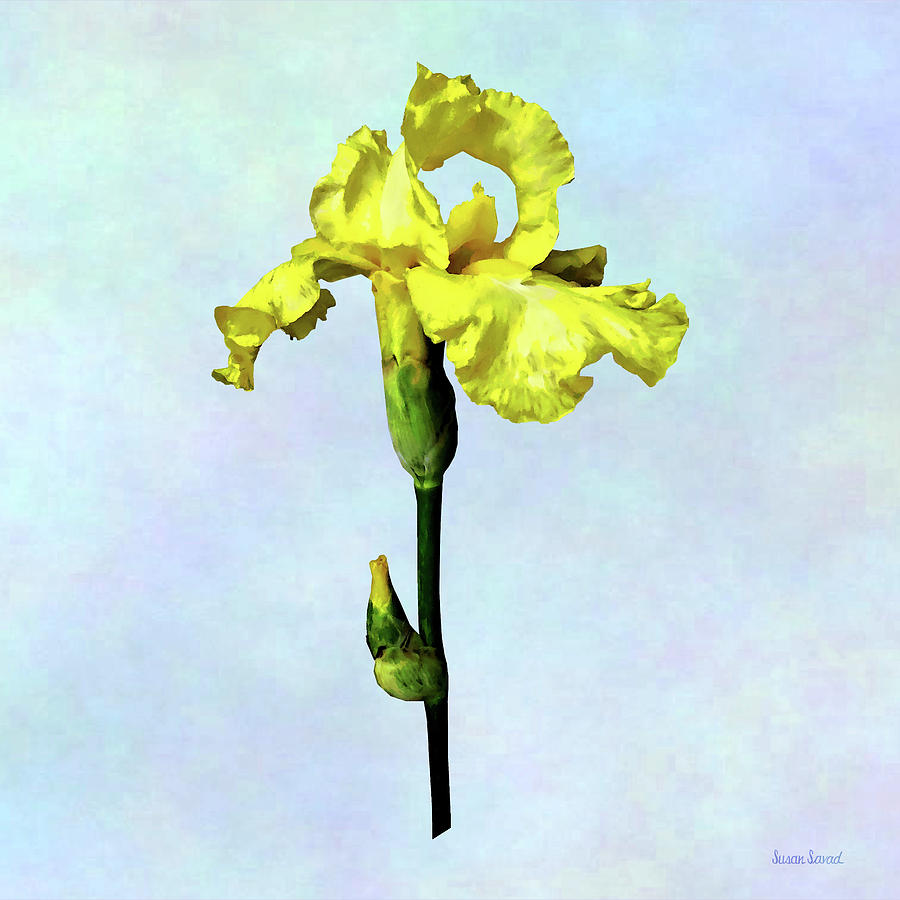 Yellow Iris and Bud by Susan Savad