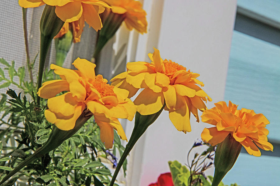 Yellow Marigolds Blue And White Back Ground Lateral View 2 812020 2 0691 Photograph by David Frederick