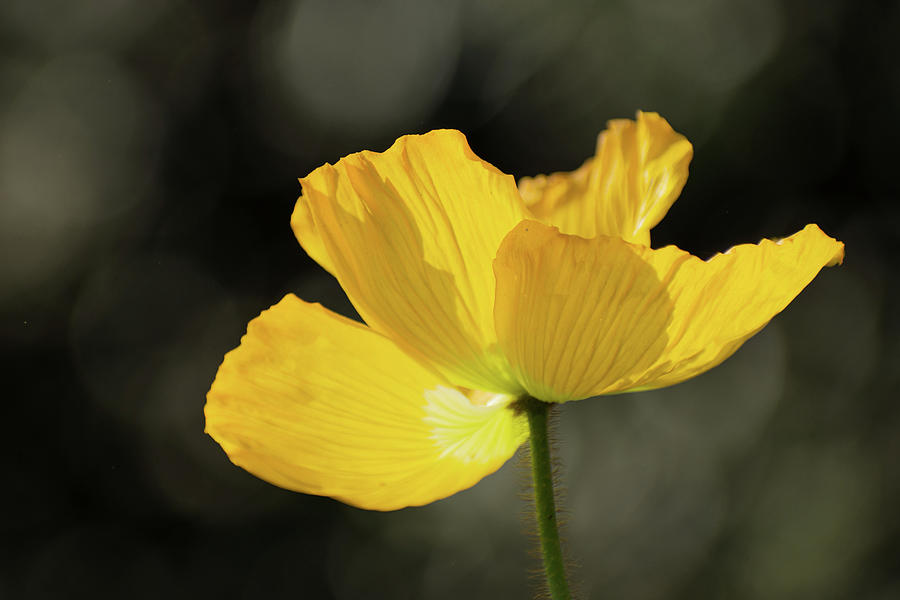 Yellow Poppy Photograph