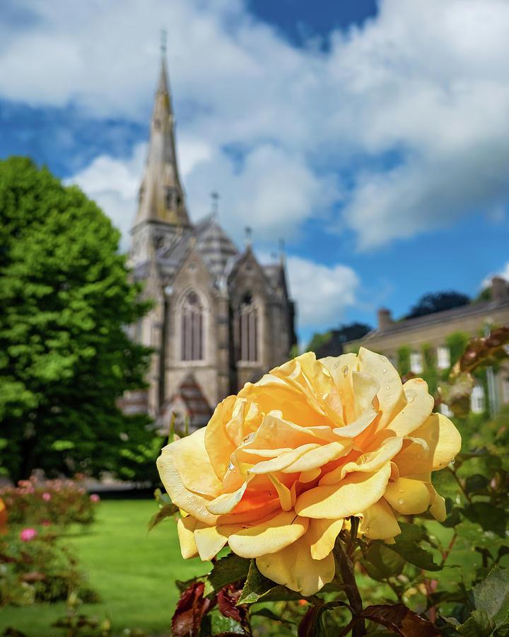 Maynooth University Photograph - Yellow Rose at Maynooth University - Ireland by Barry O Carroll