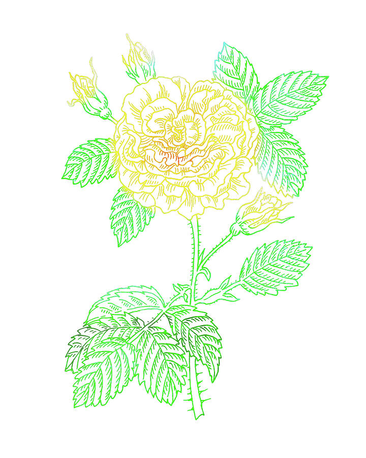 Yellow Rose Colorful Botanical Flower On White Painting