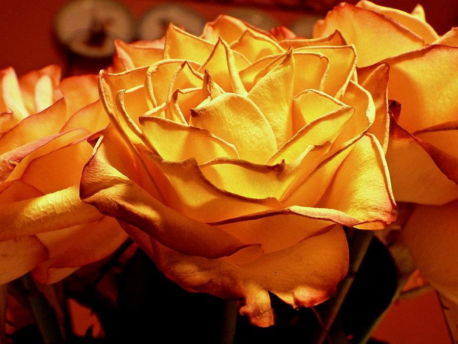 Yellow Rose Dscn0002 Photograph