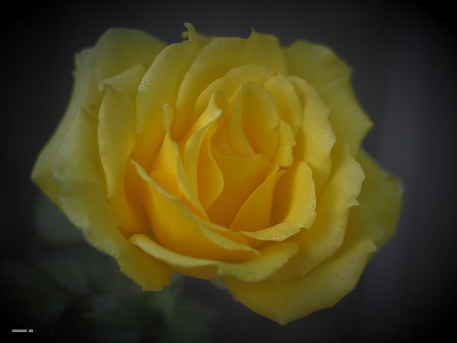 Yellow Rose Unfurling  by Richard Thomas