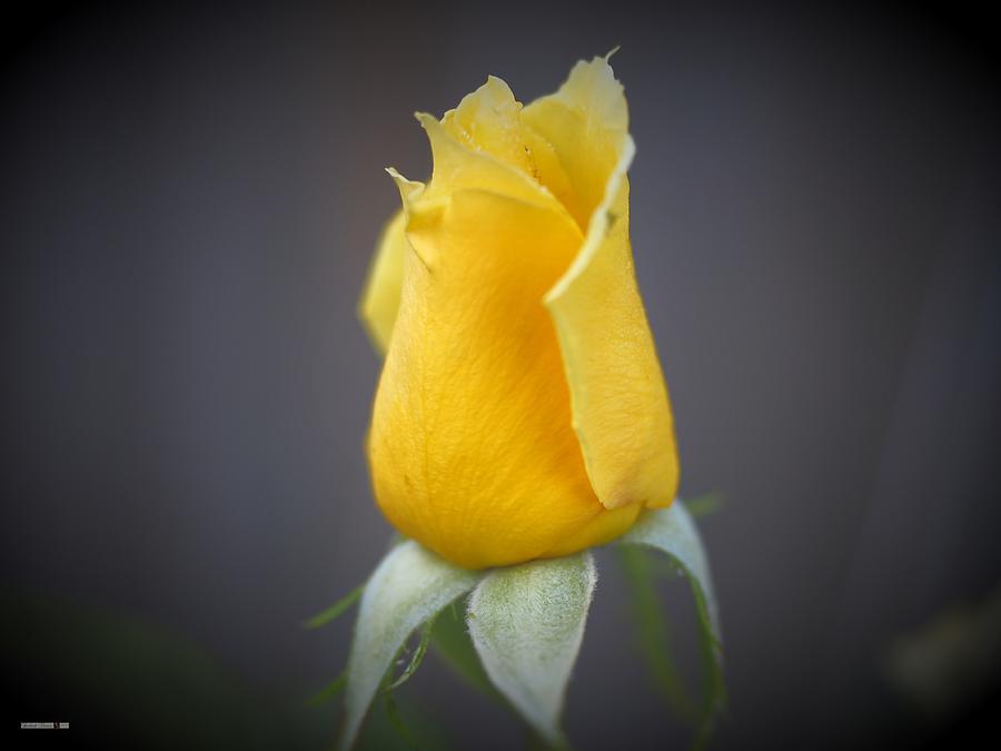 Yellow Rose Up by Richard Thomas