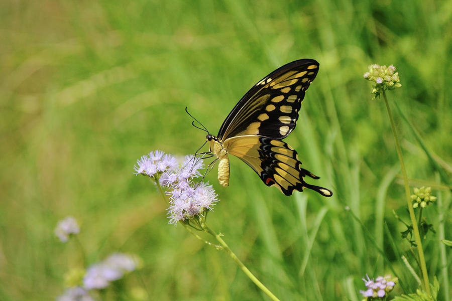 Yellow Swallowtail Butterfly On Wildflowers Photograph