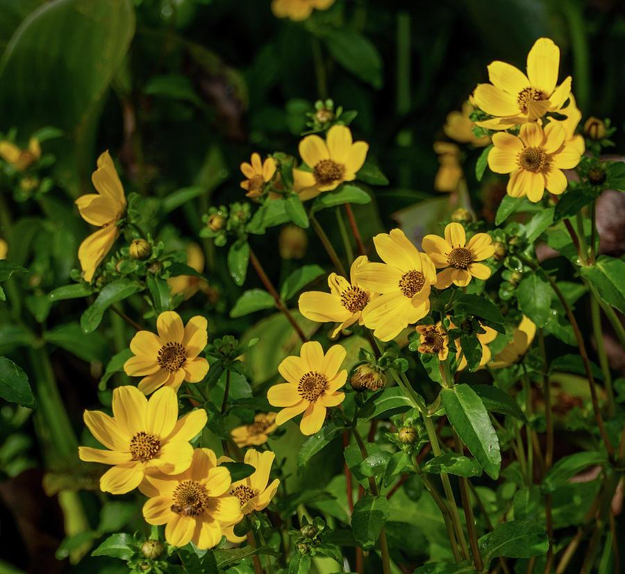 Yellow Swamp Daisies by Margaret Zabor