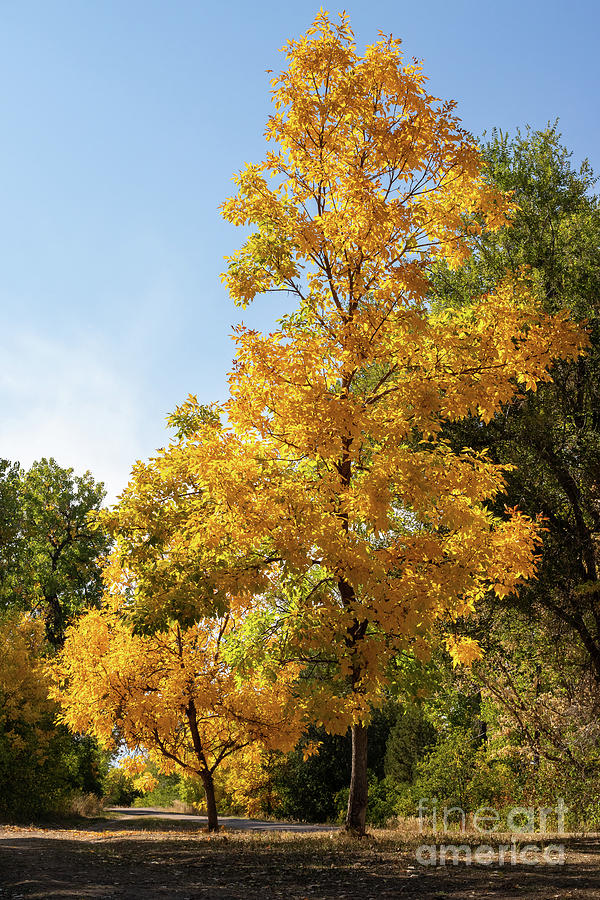 Autumn Photograph - Yellow Trees by Nicki Hoffman