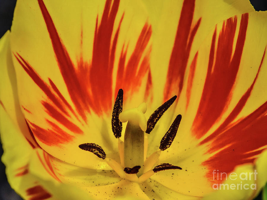 Yellow Tulips Amazing Center Photograph