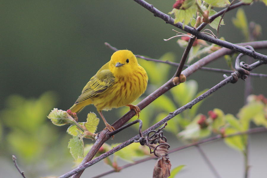 Yellow Warbler Photograph - Yellow Warbler by Callen Harty