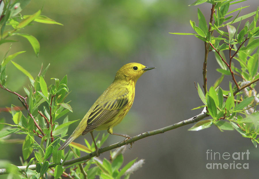 Yellow Warbler Photograph - Yellow Warbler by Gary Wing