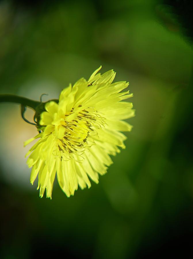 Yellow Wildflower Photograph
