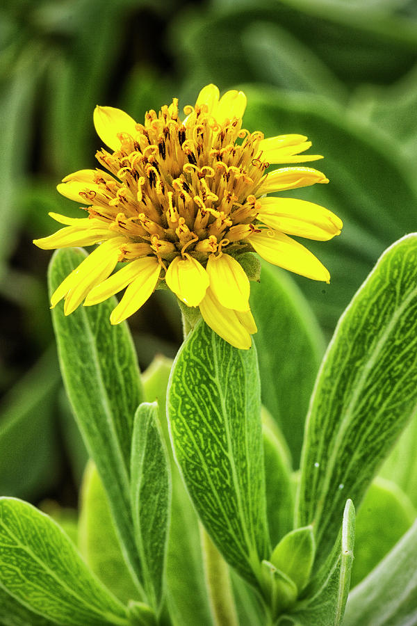 Yellow Wildflower In The Croatan National Forest Photograph