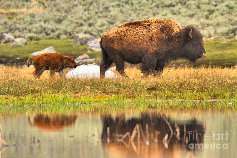 Yellowstone Spring Red Dog Reflections by Adam Jewell