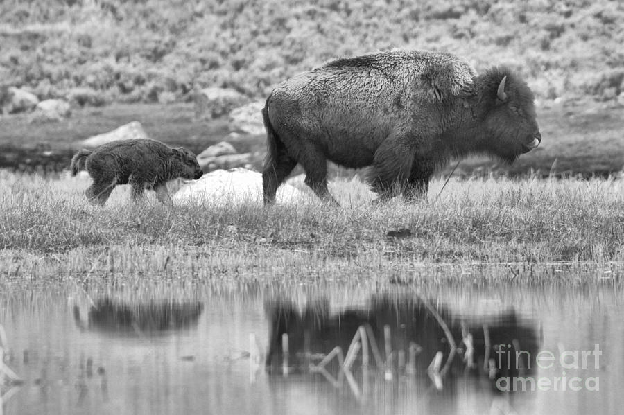 Yellowstone Spring Red Dog Reflections Black And White by Adam Jewell