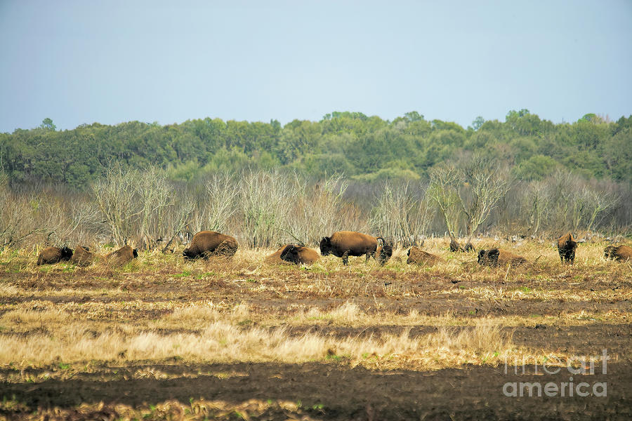 Yes Photograph - Yes, There Are Wild Bison In Florida, Paynes Prairie State Park by Felix Lai