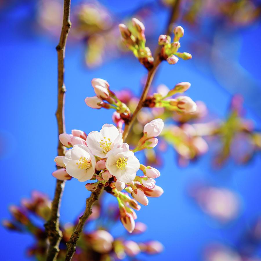 Yoshino Cherry Tree Blossom Photograph