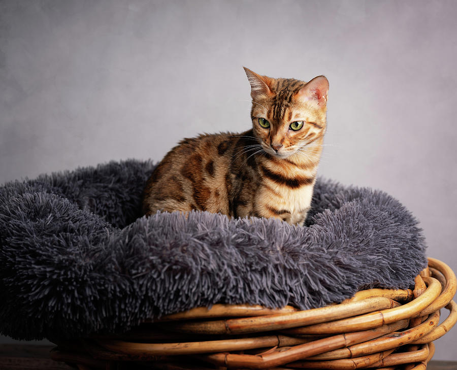 Young Bengal Cat In Her Cat Bed Photograph