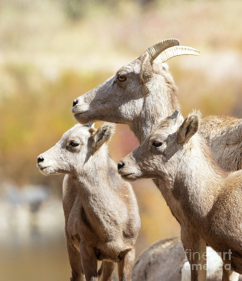 Young Bighorn Sheep Family by Steve Krull