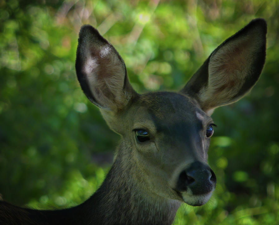 Young Black-tailed Deer Photograph