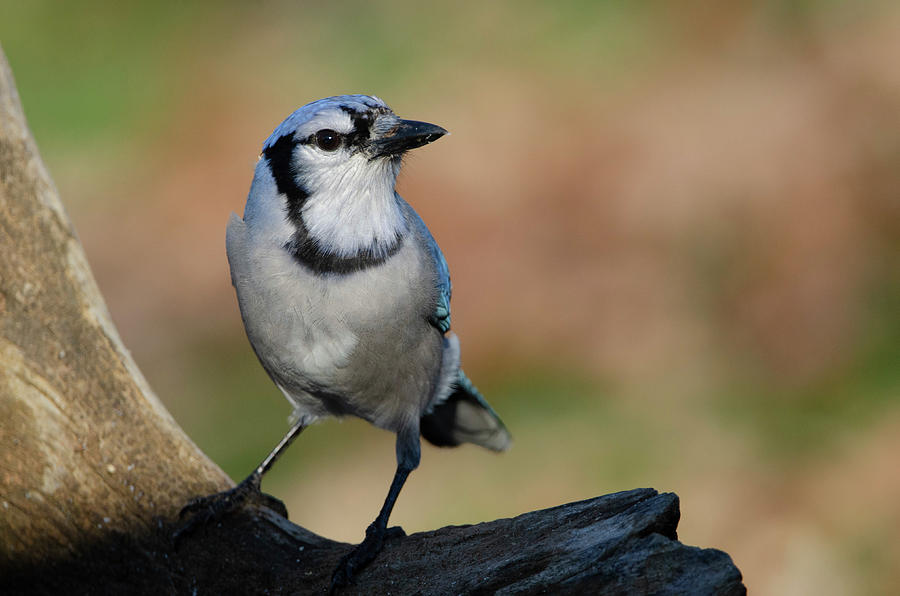 Bird Photograph - Young Blue Jay by Jim Cook