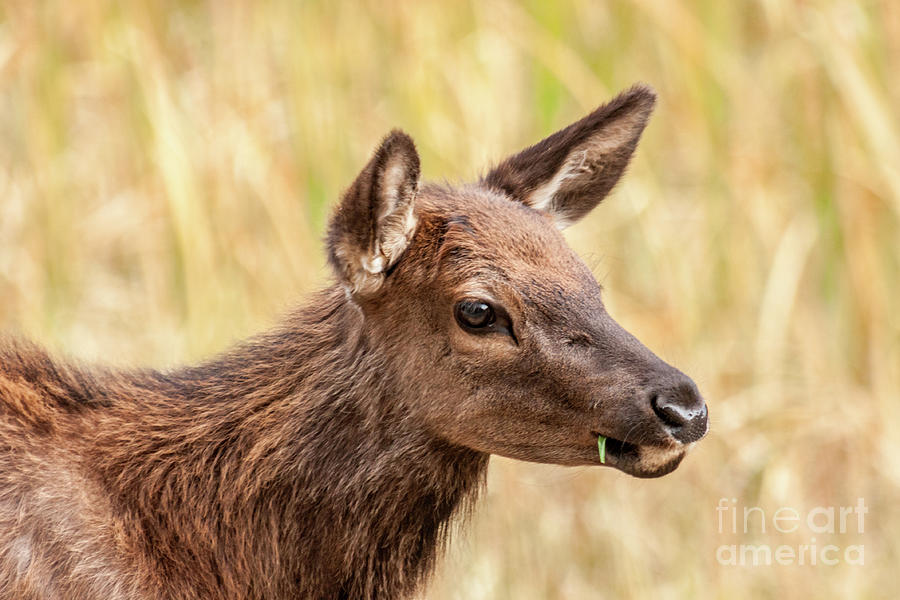 Young Elk Caught With a Piece of Grass by Sue Smith