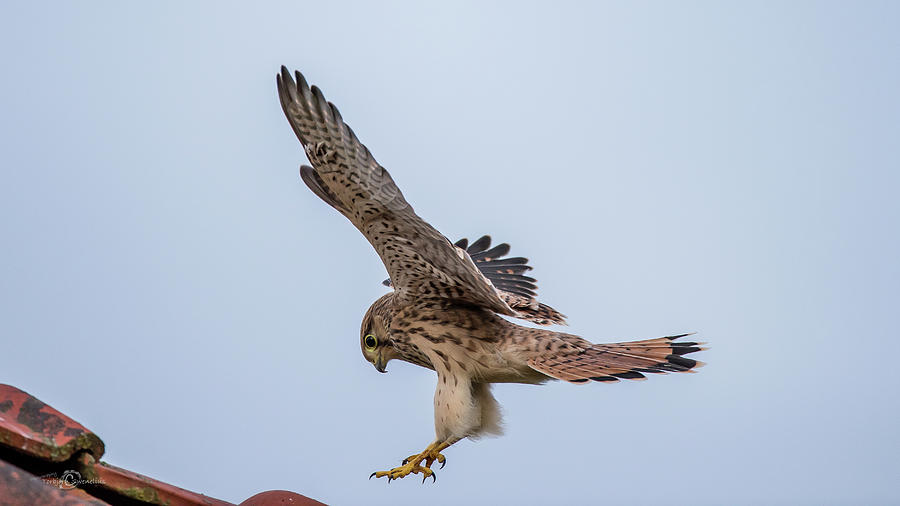 Young European Kestrel Landing Photograph