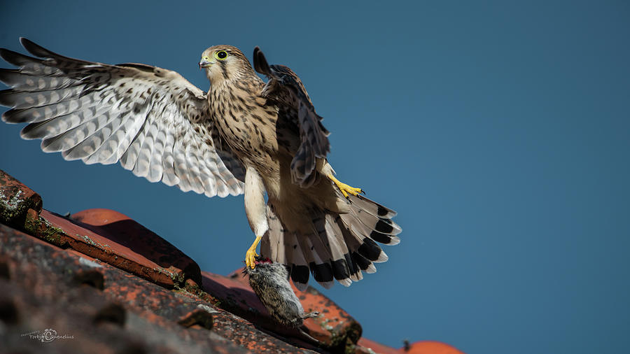 Young Flying Kestrel With The Prey In The Claw Photograph
