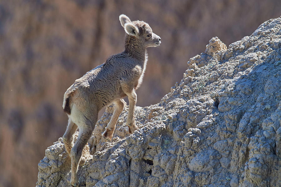 Young Goat by Paul Freidlund