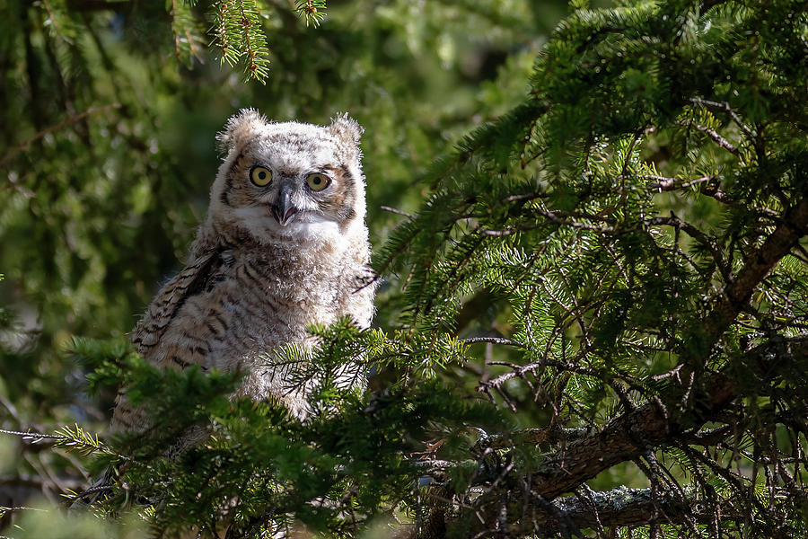 Owl Photograph - Young Great Horned Owl by Linda Ryma