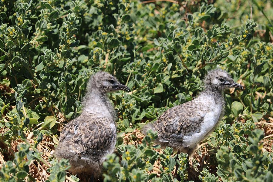 Young Gulls Photograph