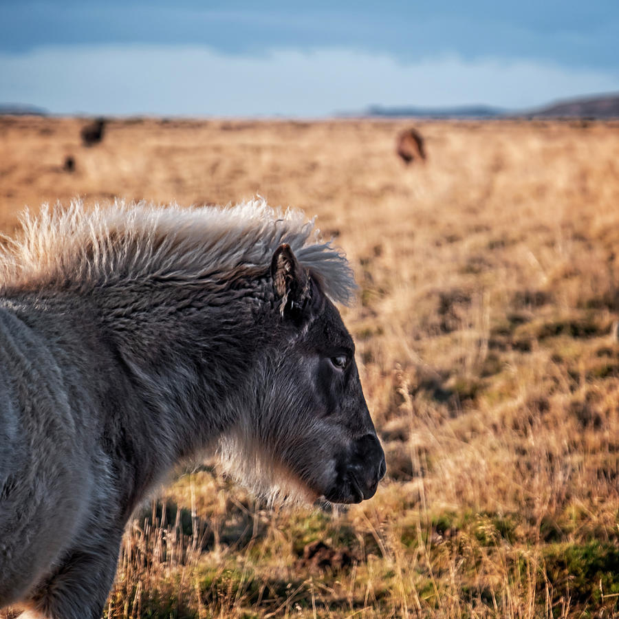 Young Icelandic Horse by Catherine Reading